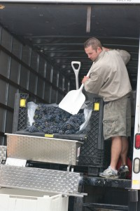 From the back of their Budget rental truck, Schroth shovels grapes into a machine that detaches them from the stems.